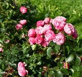 Bush czerwone róże w ogródzie Obrazy Royalty Free