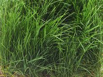 Bush d'herbe verte Photos stock
