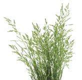 Bush d'herbe verte Photo libre de droits