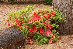 Bush d'une azalée avec les fleurs rouges Photographie stock libre de droits