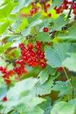 Bush d'une groseille rouge Images stock
