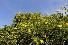 Bush da flor selvagem do girassol na cena amarela, colorida no Lat da Dinamarca, Vietname fotos de stock
