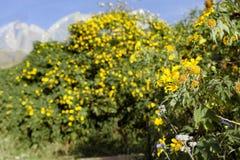 Bush da flor selvagem do girassol na cena amarela, colorida no Lat da Dinamarca, Vietname foto de stock