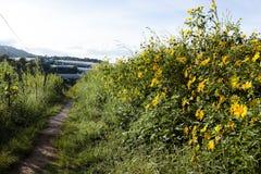 Bush da flor selvagem do girassol na cena amarela, colorida no Lat da Dinamarca, Vietname foto de stock royalty free