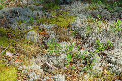 Bush da grama seca e de plantas novas da airela no branco e na GR Foto de Stock Royalty Free
