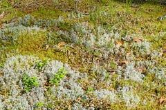 Bush da grama seca e de plantas novas da airela no branco e na GR Fotografia de Stock Royalty Free
