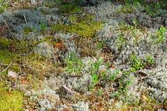Bush da grama seca e de plantas novas da airela no branco e na GR Fotos de Stock