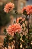 Bush dahlias. Flowering bush dahlias, flowers and buds Royalty Free Stock Images