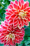 Bush of dahlias in garden. Bush of red dahlias in garden Royalty Free Stock Images