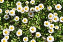 Bush daisies Stock Image