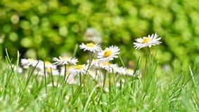 Bush daisies Stock Photo