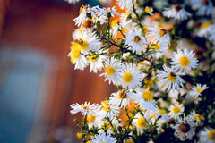 Bush daisies Royalty Free Stock Photos