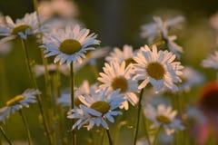 Bush daisies Royalty Free Stock Image