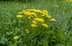 Bush dandelion in green grass on a background of vegetation.  royalty free stock photo