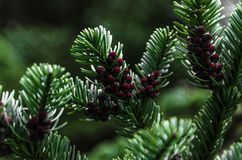 Pine-like leaves with red berries in ireland. Bush with dark green pine leaves of which dark red fruits appear. The interior of a forest is appreciated as a stock photos