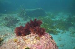 Bush of dark red seaweed Stock Images