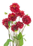 Bush of darkly red dahlias. Flowers isolated Royalty Free Stock Photo
