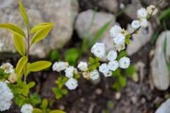 Bush das flores brancas na mola Imagens de Stock