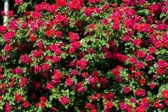 Bush das rosas em brilhante imagem de stock