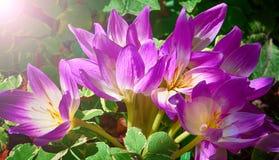 Bush de açafrões roxos no sol Imagem de Stock Royalty Free