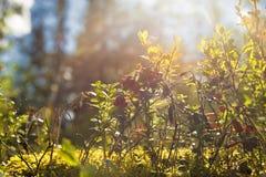 Bush de airelas selvagens. Fotografia de Stock