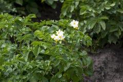 Bush de batatas de florescência Fotos de Stock