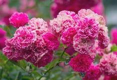 Bush de belles roses roses Photographie stock