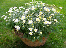 Bush de crisantemos en una cesta en un césped Fotos de archivo libres de regalías