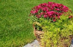 Bush de crisantemos en una cesta en un césped Fotografía de archivo