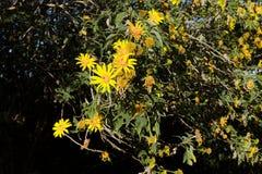 Bush de fleur sauvage de tournesol dans la scène jaune et colorée dans le Lat du DA, Vietnam images stock