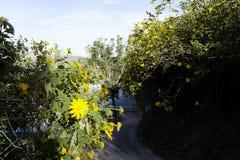 Bush de fleur sauvage de tournesol dans la scène jaune et colorée dans le Lat du DA, Vietnam photos libres de droits