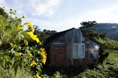 Bush de fleur sauvage de tournesol dans la scène jaune et colorée dans le Lat du DA, Vietnam photographie stock libre de droits