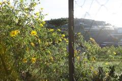 Bush de fleur sauvage de tournesol dans la scène jaune et colorée dans le Lat du DA, Vietnam photographie stock