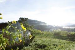 Bush de fleur sauvage de tournesol dans la scène jaune et colorée dans le Lat du DA, Vietnam image stock