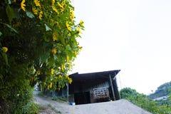 Bush de fleur sauvage de tournesol dans la scène jaune et colorée dans le Lat du DA, Vietnam image libre de droits
