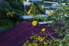 Bush de fleur sauvage de tournesol dans la scène jaune et colorée dans le Lat du DA, Vietnam photo libre de droits