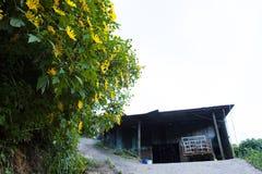 Bush de fleur sauvage de tournesol dans la scène jaune et colorée dans le Lat du DA, Vietnam images libres de droits
