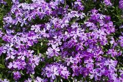Bush de flores lilás dos açafrões no jardim Fotos de Stock Royalty Free