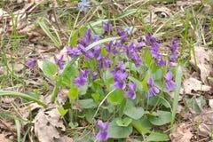 Bush de flores selvagens da planta roxa da viola da floresta Close-up Imagem de Stock Royalty Free