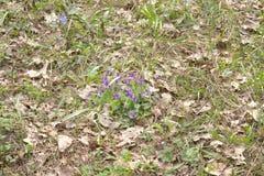 Bush de flores selvagens da planta roxa da viola da floresta No l Imagens de Stock Royalty Free