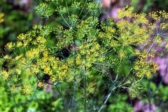 Bush de florescência da erva-doce em um fundo do verde imagem de stock royalty free