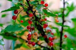Bush de groseille rouge dans un jardin Photos stock