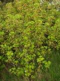 Bush de groseille rouge de floraison (rubrum L de Ribes ) Images libres de droits
