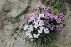 Bush de la flor del clavel en tierra rocosa Fotografía de archivo