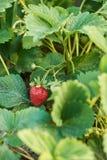 Bush de la fraise avec la grande baie mûre rouge Images stock