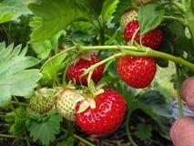 Bush de la fresa con las bayas rojas y verdes Imagen de archivo libre de regalías