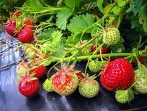 Bush de la fresa con las bayas rojas y verdes Fotografía de archivo