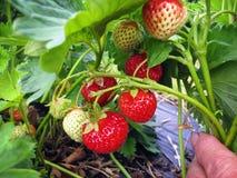 Bush de la fresa con las bayas rojas y verdes Imagen de archivo