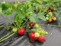 Bush de la fresa con las bayas rojas y verdes Foto de archivo