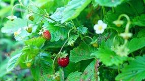 Bush de la fresa de jardín foto de archivo libre de regalías